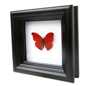4x4 Real Butterfly Taxidermy - Cymothoe Sangaris