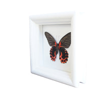 Load image into Gallery viewer, 5x5 Scarlet Mormon Butterfly