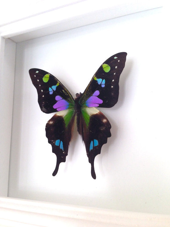 4x4 Real Butterfly Taxidermy - Graphium Weiskei