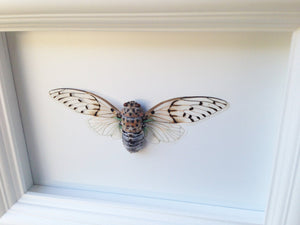 Real Framed Insect Taxidermy - Ghost Cicada - Insects, Office Decoration, Bugs, Curiosity, Cicada, Taxidermy art, Natural, Unique