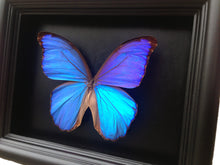 Load image into Gallery viewer, 6x8 Blue Morpho Butterfly Shadowbox Frame