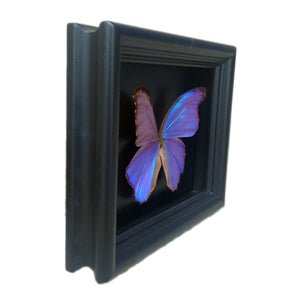 6x8 Blue Morpho Butterfly Shadowbox Frame