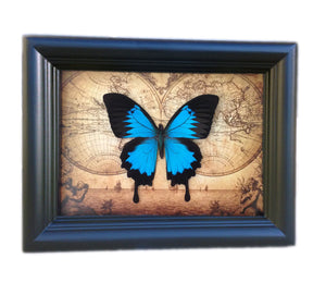 5x7 Real Framed Butterfly Taxidermy - Papilio Ulysses on Map