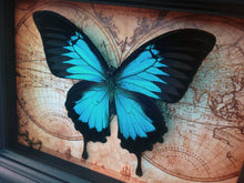 Load image into Gallery viewer, 5x7 Real Framed Butterfly Taxidermy - Papilio Ulysses on Map