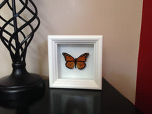 Load image into Gallery viewer, Real Framed Butterfly Taxidermy - Monarch Plain, Insects, Curiosity, Bugs, Taxidermy Art, Natural, Unique, Gift, Special Occasion