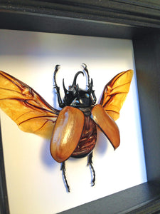 5x5 Real Beetle Taxidermy - 5 Horned Beetle