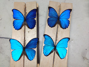 FARM RAISED - Butterflies Mixed Lot - UNMOUNTED
