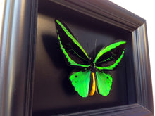 Load image into Gallery viewer, Vibrant Green Butterfly Taxidermy - Green Alien - Insect Art, Decor, Bugs, Bug, Insect Taxidermy, Taxidermy Art, Beetle, Bohemian, Gothic