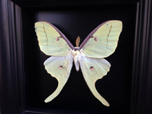 Load image into Gallery viewer, Real Luna Moth Taxidermy - Butterfly Moth Framed Art, Butterfly Decor, Framed Butterfly, Butterflies, Insect Taxidermy, Taxidermy Art, Bugs