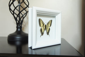Real Framed Butterfly Taxidermy Art - Yellow Tiger Swallowtail, Butterfly Gift