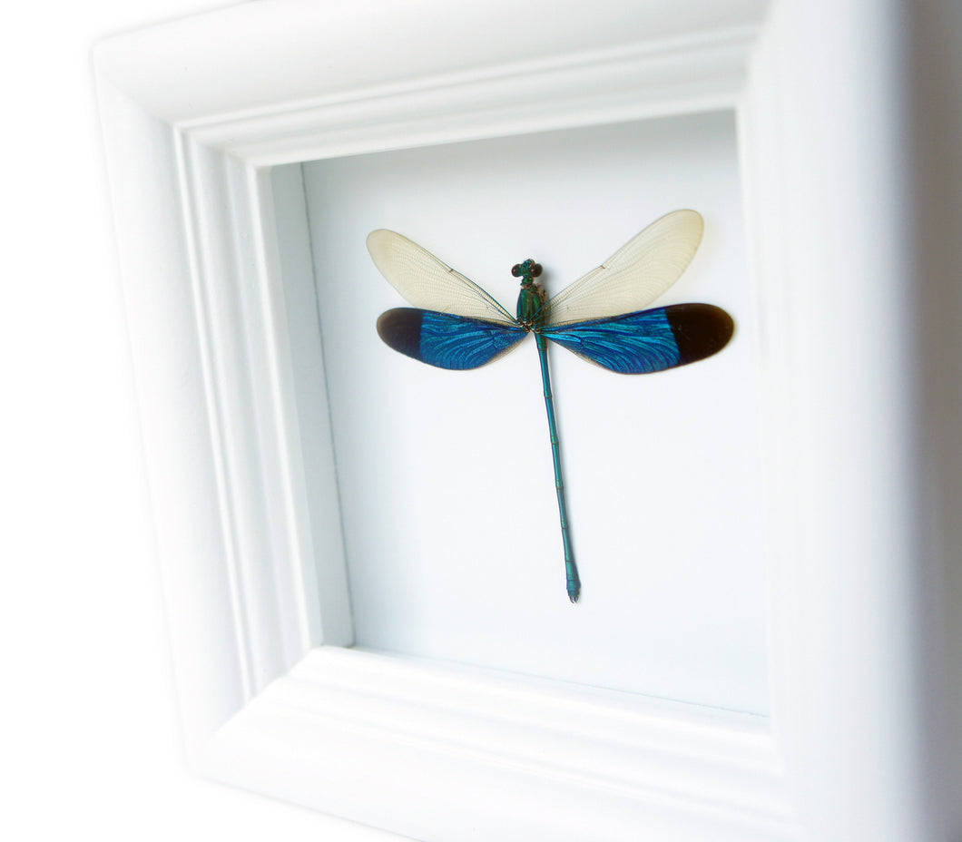4x4 Real Damselfly Taxidermy - Insect Framed Art
