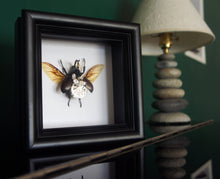 Load image into Gallery viewer, Real Steampunk Beetle Taxidermy - Rhino Beetle - Framed Insect Taxidermy Art, Steampunk Decor, Gifts For Men