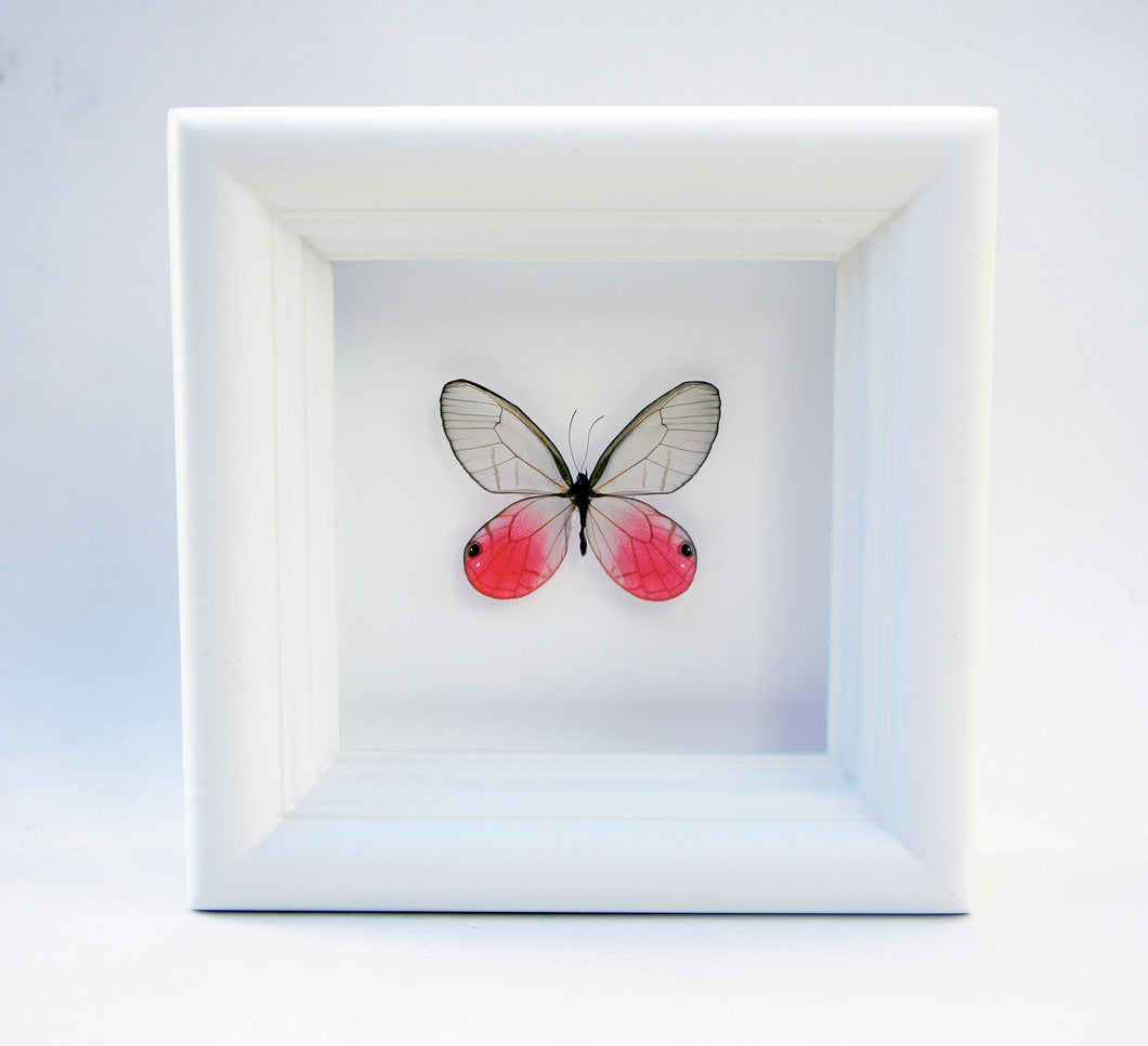 4x4 Real Bright Pink Framed Butterfly - Blushing Phantom