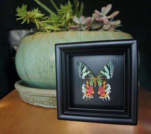 Real moth in shadowbox frame - Sunset Moth - Butterfly Framed Art, Butterfly Decor, Framed Butterfly, Real Butterfly