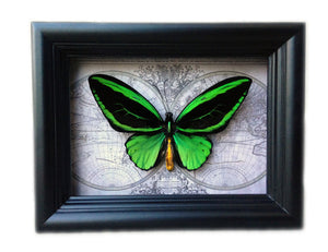 Vibrant Green Butterfly Taxidermy - Green Alien - Insect Art, Decor, Bugs, Bug, Insect Taxidermy, Taxidermy Art, Beetle, Bohemian, Gothic