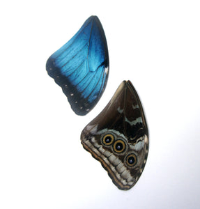 Real Morpho butterfly wings for crafting and art projects - nature jewelry supplies