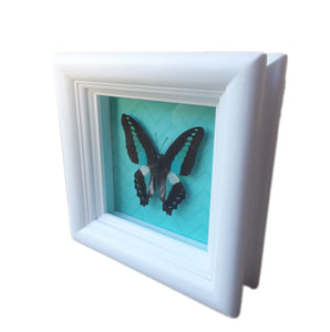 4x4 Real butterfly shadowbox frame - Graphium Sarpedon