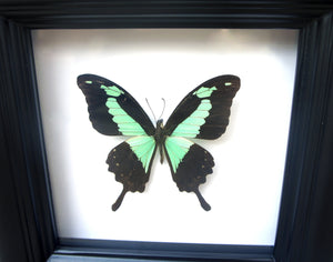 Real Framed Butterfly Taxidermy - Papilio Phorcas - Insects, Curiosity, Scientific, Bugs, Taxidermy Art, Natural, Unique