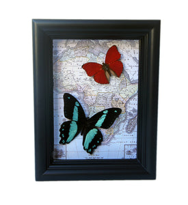 5x7 Real Butterflies On Map Shadowbox - Bromius and Sangaris