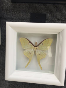 Real Luna Moth Taxidermy - Butterfly Moth Framed Art, Butterfly Decor, Framed Butterfly, Butterflies, Insect Taxidermy, Taxidermy Art, Bugs