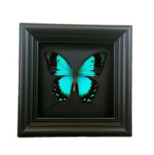 Load image into Gallery viewer, Real Vibrant Green Butterfly Shadowbox Frame - Papilio Albertisi - Butterfly Framed Art, Butterfly Decor, Framed Butterfly, Real Butterfly