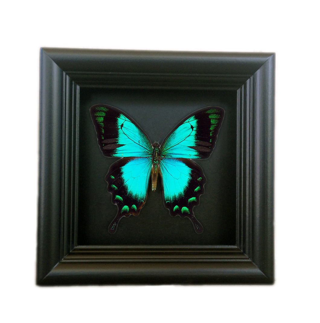 Real Vibrant Green Butterfly Shadowbox Frame - Papilio Albertisi - Butterfly Framed Art, Butterfly Decor, Framed Butterfly, Real Butterfly