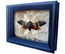 Load image into Gallery viewer, 5x7 Cicada Insect Collection Taxidermy - Orange Cicada