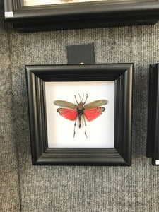 Real Grasshopper Insect Shadowbox Frame - Pink Katydid - Butterfly Framed Art, Butterfly Decor, Framed Butterfly, Real Butterfly