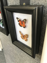 Load image into Gallery viewer, 5x7 Butterfly Insect Collection - Cethosia Biblis