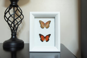 5x7 Butterfly Insect Collection - Cethosia Biblis