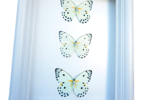 6x8 Real Butterfly Taxidermy- Belanois Calypso