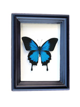 Load image into Gallery viewer, Real Framed Butterfly Taxidermy - Papilio Ulysses Plain - Insects, Vintage, Map, Office, Natural, Unique, Gift, Special Occasion