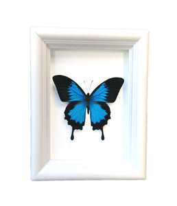 Real Framed Butterfly Taxidermy - Papilio Ulysses Plain - Insects, Vintage, Map, Office, Natural, Unique, Gift, Special Occasion