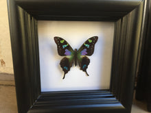 Load image into Gallery viewer, 4x4 Real Butterfly Taxidermy - Graphium Weiskei
