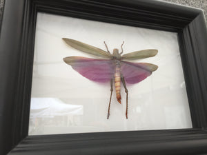 Real Purple Grasshopper - Plain Background - Insect Art, Framed Insect Art, Beetle, Nature Art, Oddities