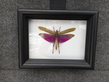 Load image into Gallery viewer, Real Purple Grasshopper - Plain Background - Insect Art, Framed Insect Art, Beetle, Nature Art, Oddities