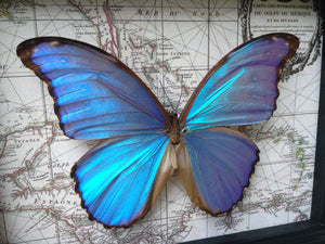 6x8 Real Blue Morpho Didius Butterfly on Map