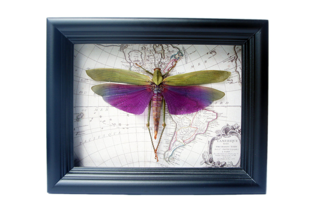 6x8 Real Purple Grasshopper on Map