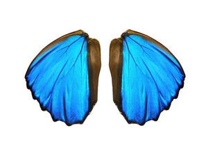 Real Morpho Didius butterfly wings for crafting and art projects - nature jewelry supplies