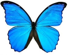 Load image into Gallery viewer, Real Morpho Didius butterfly wings for crafting and art projects - nature jewelry supplies