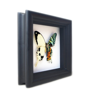 5x5 Mixed Media Steampunk Shadow Box - Sunset and Papilio Dardanus Hybrid