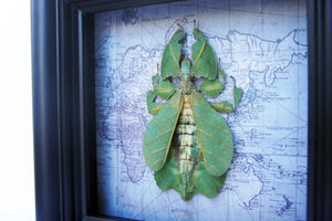 5x5 Real Framed Leaf Insect on Map