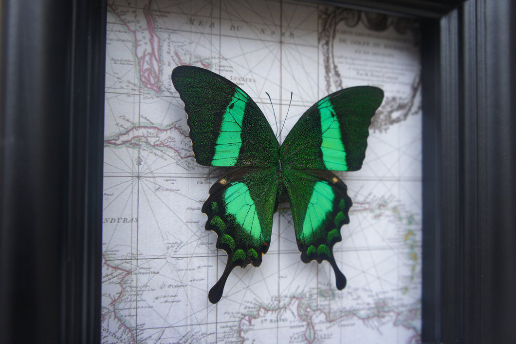 5x5 Real Butterfly on Map - Papilio Daedalus
