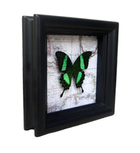 Load image into Gallery viewer, 5x5 Real Butterfly on Map - Papilio Daedalus