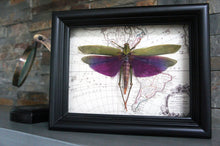 Load image into Gallery viewer, 6x8 Real Purple Grasshopper on Map