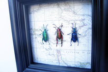 Load image into Gallery viewer, 5x5 Frog Beetles on Map Background - Beetle Framed Art