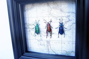 5x5 Frog Beetles on Map Background - Beetle Framed Art