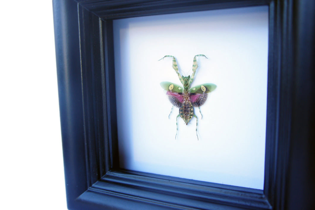 Real Mantis Insect Collection - Creobroter gemmatus - Insect Art, Framed Insect Art, Beetle, Nature Art, Oddities