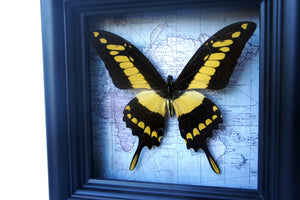 5x5 Real Butterfly on Map - African Yellow Tiger Swallowtail