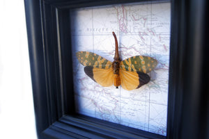 4x4 Lanternfly Insect Collection Taxidermy - Yellow Lanternfly on Map